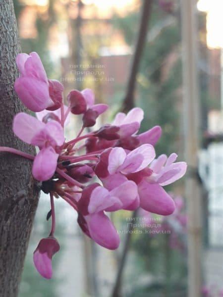 Церцис канадский Лавендер Твист (Cercis canadensis Lavender Twist) ФОТО Питомник растений Природа (2)