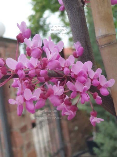Церцис канадский Лавендер Твист (Cercis canadensis Lavender Twist) ФОТО Питомник растений Природа (3)