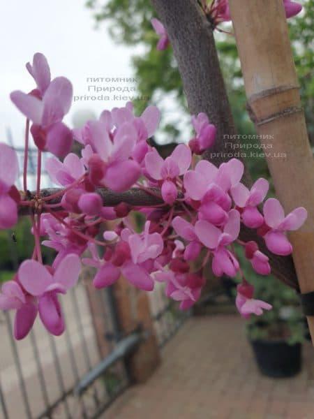 Церцис канадский Лавендер Твист (Cercis canadensis Lavender Twist) ФОТО Питомник растений Природа (4)