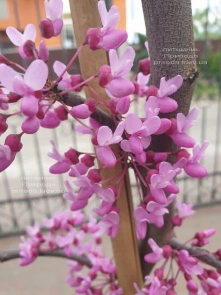 Церцис канадский Лавендер Твист (Cercis canadensis Lavender Twist) ФОТО Питомник растений Природа (5)