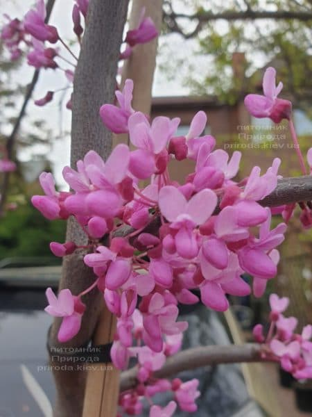 Церцис канадский Лавендер Твист (Cercis canadensis Lavender Twist) ФОТО Питомник растений Природа (6)