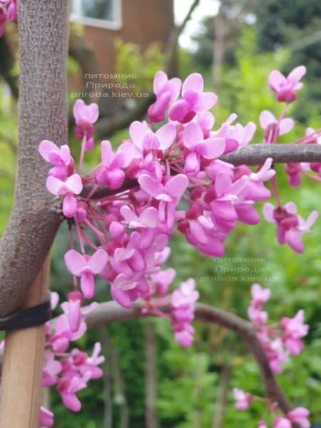 Церцис канадский Лавендер Твист (Cercis canadensis Lavender Twist) ФОТО Питомник растений Природа (8)