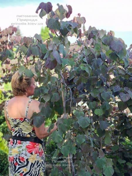 Церцис канадский Руби Фолс (Cercis canadensis Ruby Falls) ФОТО Питомник растений Природа (10)