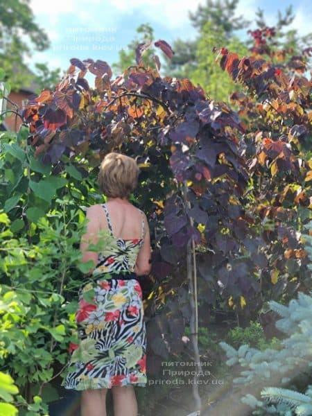 Церцис канадский Руби Фолс (Cercis canadensis Ruby Falls) ФОТО Питомник растений Природа (12)