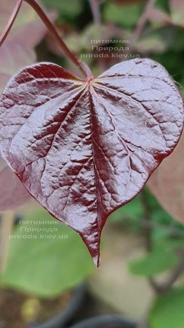 Церцис канадский Руби Фолс (Cercis canadensis Ruby Falls) ФОТО Питомник растений Природа (4)