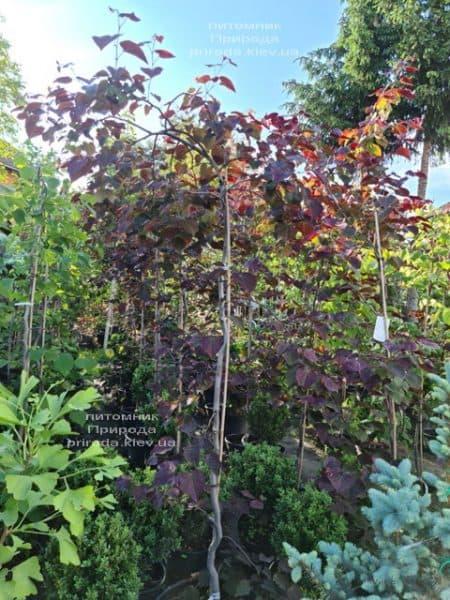 Церцис канадский Руби Фолс (Cercis canadensis Ruby Falls) ФОТО Питомник растений Природа (5)