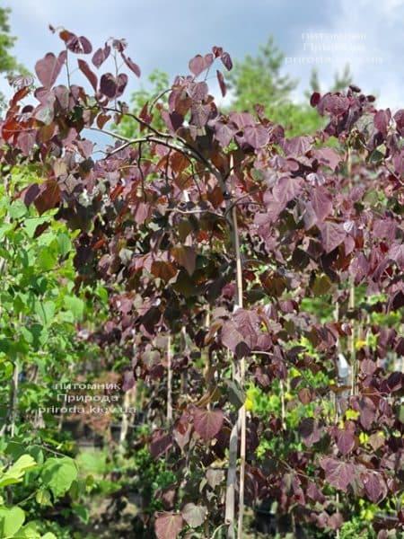Церцис канадский Руби Фолс (Cercis canadensis Ruby Falls) ФОТО Питомник растений Природа (6)
