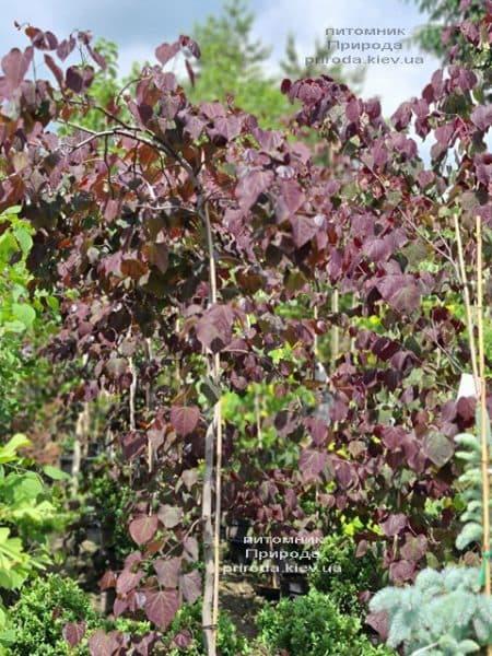 Церцис канадский Руби Фолс (Cercis canadensis Ruby Falls) ФОТО Питомник растений Природа (7)
