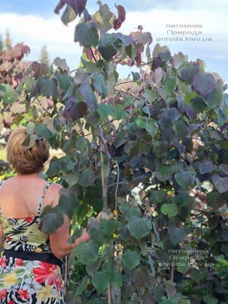 Церцис канадский Руби Фолс (Cercis canadensis Ruby Falls) ФОТО Питомник растений Природа (8)