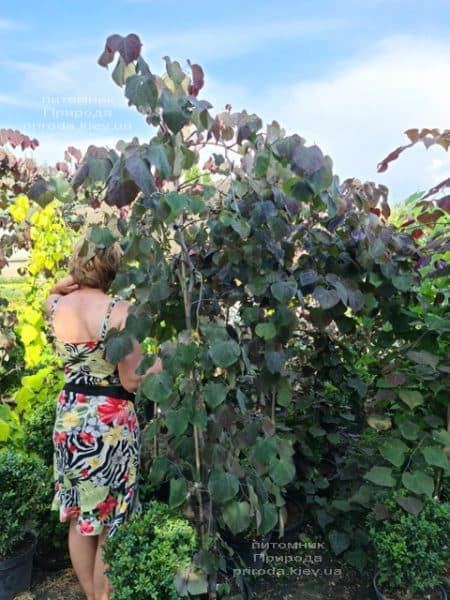Церцис канадский Руби Фолс (Cercis canadensis Ruby Falls) ФОТО Питомник растений Природа (9)