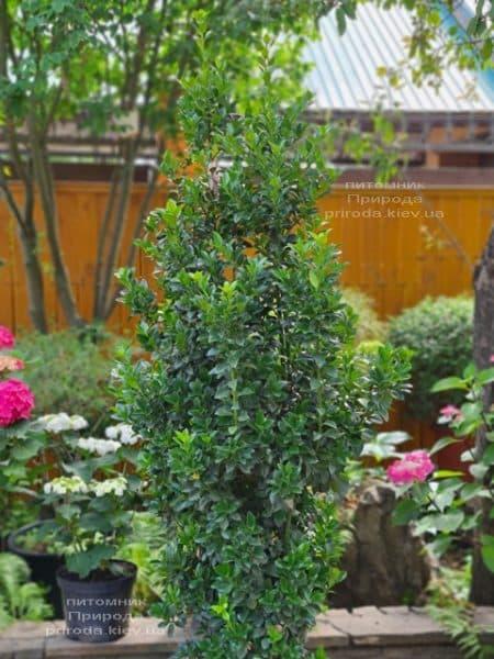 Падуб Мезерва Хекенстар (Ilex meserveae Heckenstar) ФОТО Розплідник рослин Природа (2)