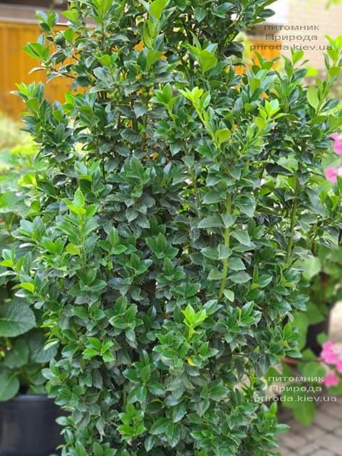 Падуб Мезерва Хекенстар (Ilex meserveae Heckenstar) ФОТО Розплідник рослин Природа (3)