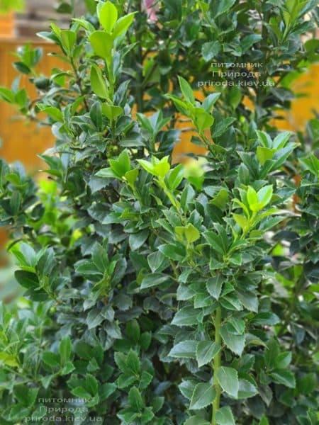 Падуб Мезерва Хекенстар (Ilex meserveae Heckenstar) ФОТО Розплідник рослин Природа (4)