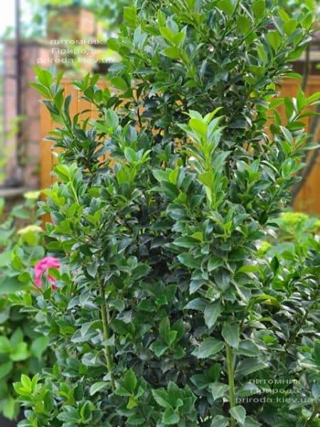 Падуб Мезерва Хекенстар (Ilex meserveae Heckenstar) ФОТО Розплідник рослин Природа (5)
