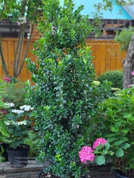 Падуб Мезерва Хекенстар (Ilex meserveae Heckenstar) ФОТО Розплідник рослин Природа (8)
