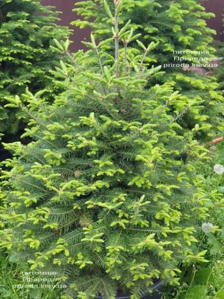 Пихта бальзамическая (Abies balsamea) ФОТО Питомник растений Природа (13)