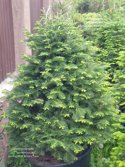 Пихта бальзамическая (Abies balsamea) ФОТО Питомник растений Природа (14)