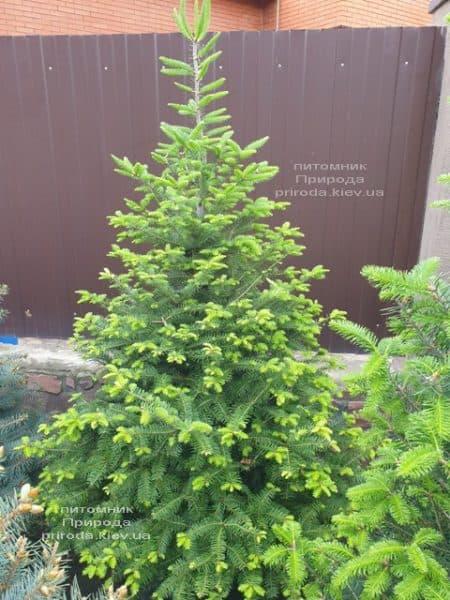 Пихта бальзамическая (Abies balsamea) ФОТО Питомник растений Природа (15)