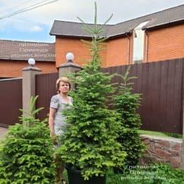 Пихта бальзамическая (Abies balsamea) ФОТО Питомник растений Природа (16)