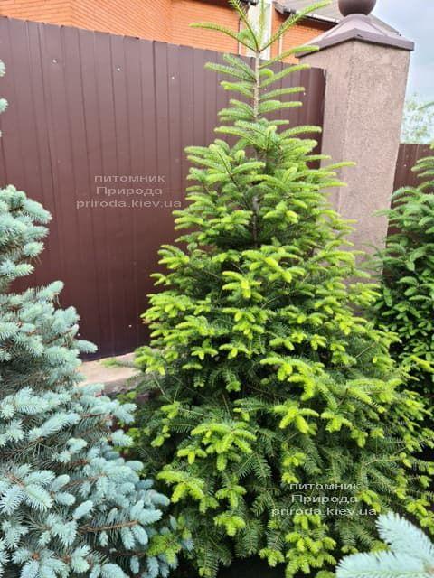 Пихта бальзамическая (Abies balsamea) ФОТО Питомник растений Природа (17)