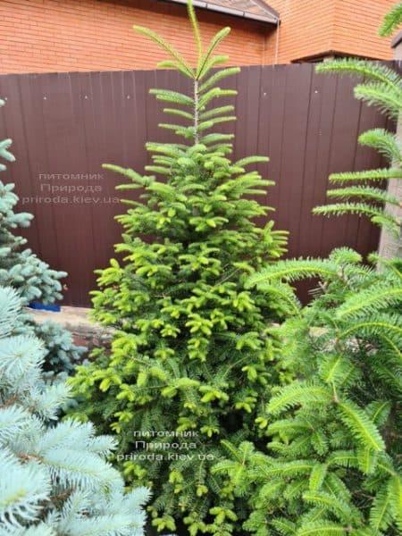 Пихта бальзамическая (Abies balsamea) ФОТО Питомник растений Природа (18)