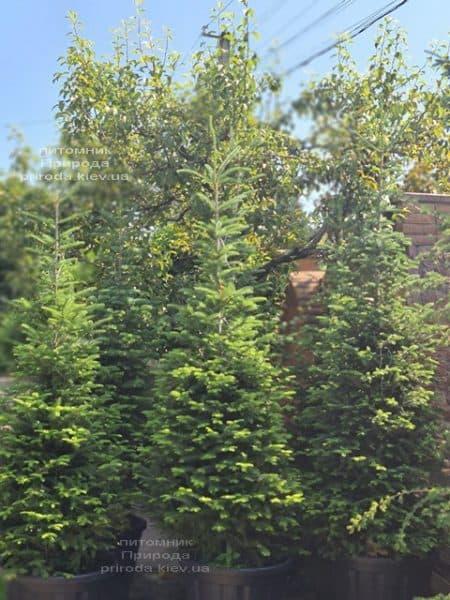 Пихта бальзамическая (Abies balsamea) ФОТО Питомник растений Природа (19)