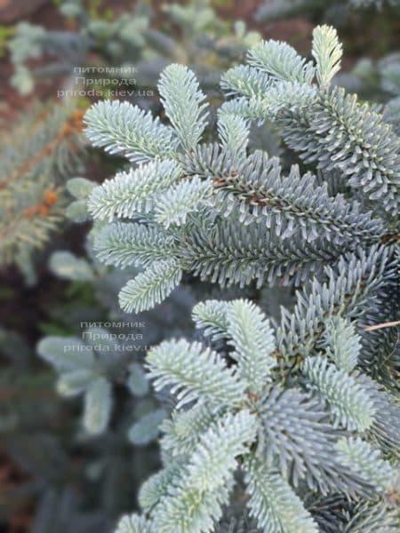 Ялиця Глаука (Abies procera Glauca) ФОТО Розплідник рослин Природа (2)