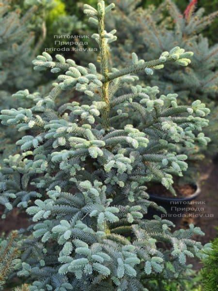 Ялиця Глаука (Abies procera Glauca) ФОТО Розплідник рослин Природа (3)