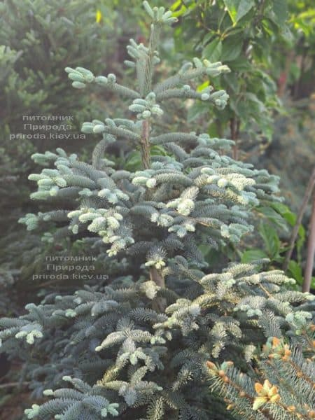 Ялиця Глаука (Abies procera Glauca) ФОТО Розплідник рослин Природа (4)