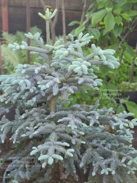 Ялиця Глаука (Abies procera Glauca) ФОТО Розплідник рослин Природа (5)
