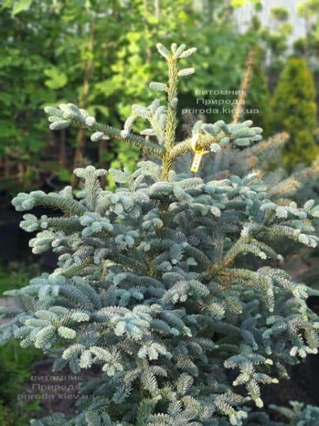 Ялиця Глаука (Abies procera Glauca) ФОТО Розплідник рослин Природа (7)