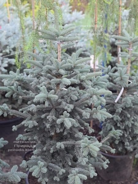 Пихта горная Аргентеа (Abies lasiocarpa Argentea) ФОТО Питомник растений Природа (10)
