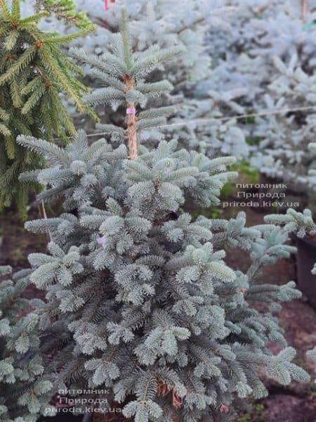 Пихта горная Аргентеа (Abies lasiocarpa Argentea) ФОТО Питомник растений Природа (11)