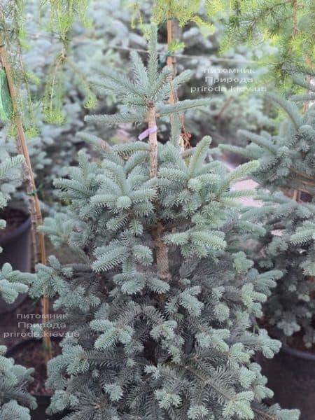 Пихта горная Аргентеа (Abies lasiocarpa Argentea) ФОТО Питомник растений Природа (12)
