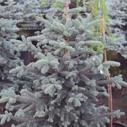 Пихта горная Аргентеа (Abies lasiocarpa Argentea) ФОТО Питомник растений Природа (13)