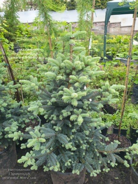 Пихта горная Аргентеа (Abies lasiocarpa Argentea) ФОТО Питомник растений Природа (7)