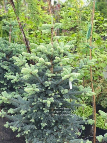 Пихта горная Аргентеа (Abies lasiocarpa Argentea) ФОТО Питомник растений Природа (9)
