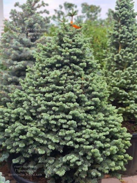 Ялиця гірська Компакта (Abies lasiocarpa Compacta) ФОТО Розплідник рослин Природа (10)