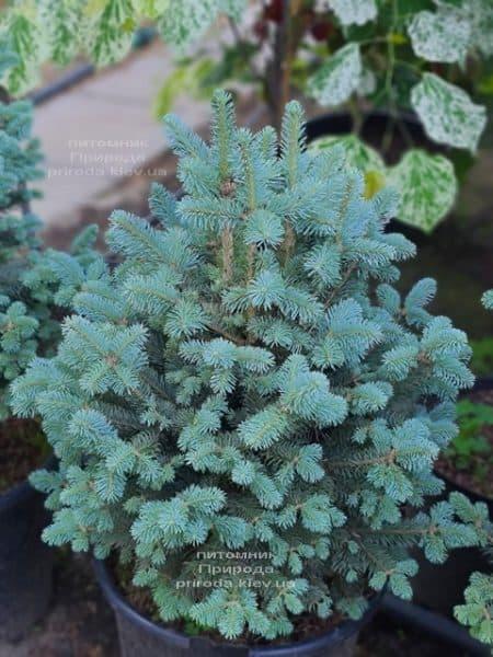 Пихта горная Компакта (Abies lasiocarpa Compacta) ФОТО Питомник растений Природа (13)