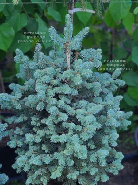 Пихта горная Компакта (Abies lasiocarpa Compacta) ФОТО Питомник растений Природа (15)