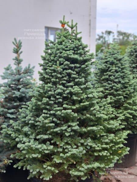 Ялиця гірська Компакта (Abies lasiocarpa Compacta) ФОТО Розплідник рослин Природа (7)