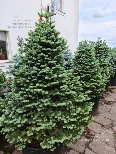 Ялиця гірська Компакта (Abies lasiocarpa Compacta) ФОТО Розплідник рослин Природа (8)