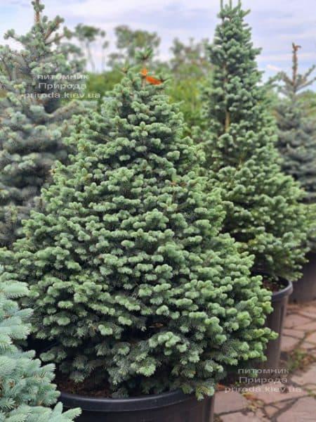 Ялиця гірська Компакта (Abies lasiocarpa Compacta) ФОТО Розплідник рослин Природа (9)