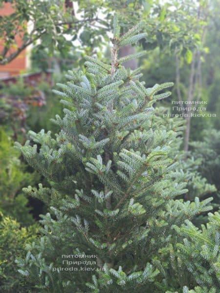 Ялиця корейська Сілберлок (Abies koreana Silberlocke) ФОТО Розплідник рослин Природа (16)