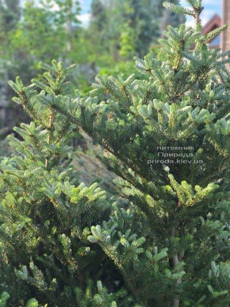 Ялиця корейська Сілберлок (Abies koreana Silberlocke) ФОТО Розплідник рослин Природа (17)