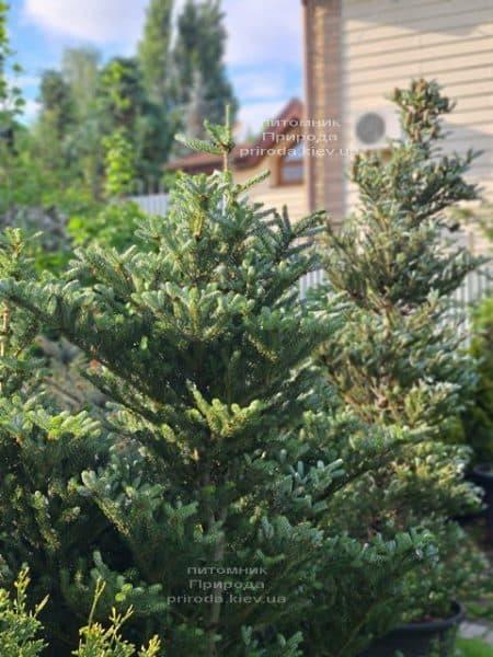 Ялиця корейська Сілберлок (Abies koreana Silberlocke) ФОТО Розплідник рослин Природа (18)