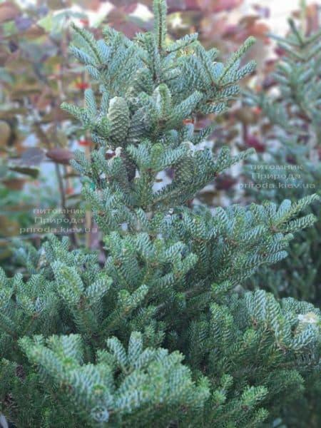 Ялиця корейська Сілберлок (Abies koreana Silberlocke) ФОТО Розплідник рослин Природа (19)