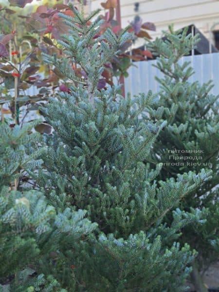 Ялиця корейська Сілберлок (Abies koreana Silberlocke) ФОТО Розплідник рослин Природа (20)