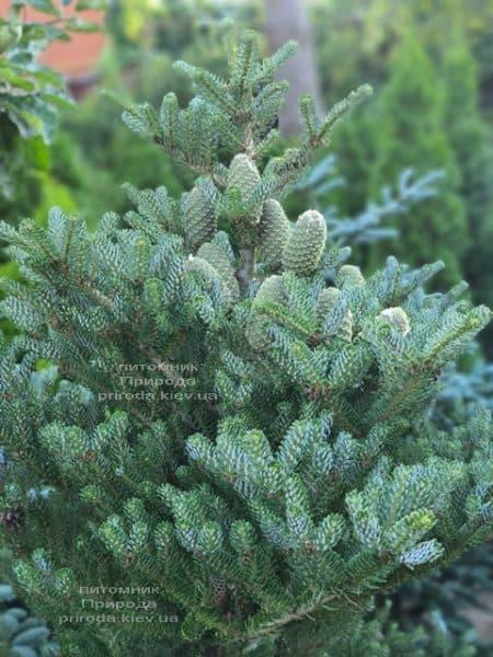 Ялиця корейська Сілберлок (Abies koreana Silberlocke) ФОТО Розплідник рослин Природа (21)