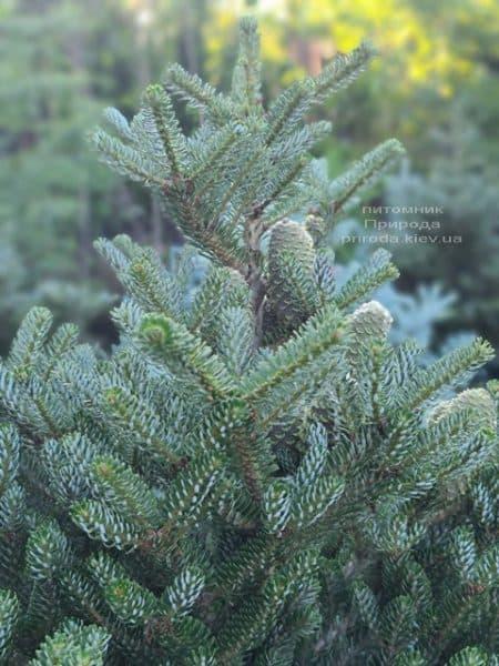 Ялиця корейська Сілберлок (Abies koreana Silberlocke) ФОТО Розплідник рослин Природа (22)